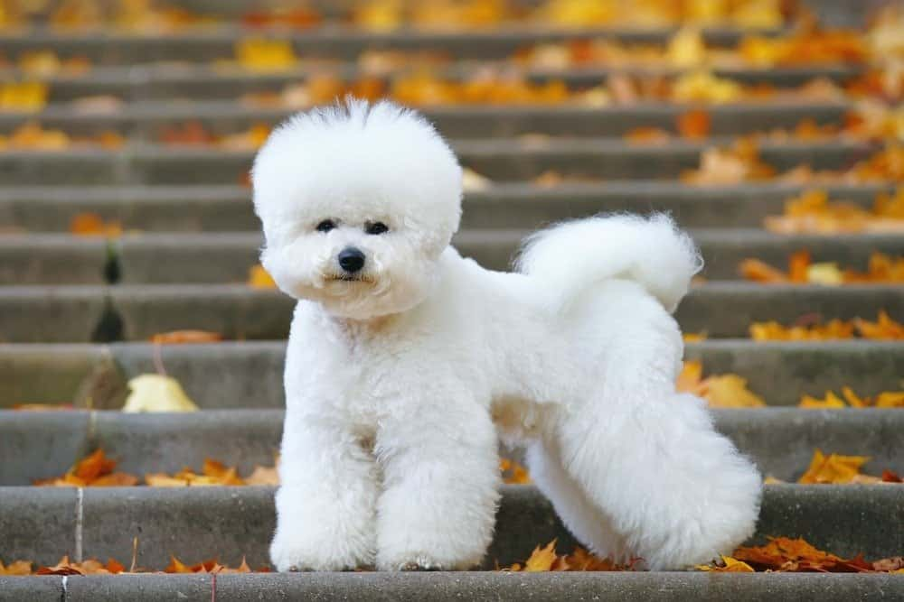 Bichon Frise dogs are one of the best apartment dogs