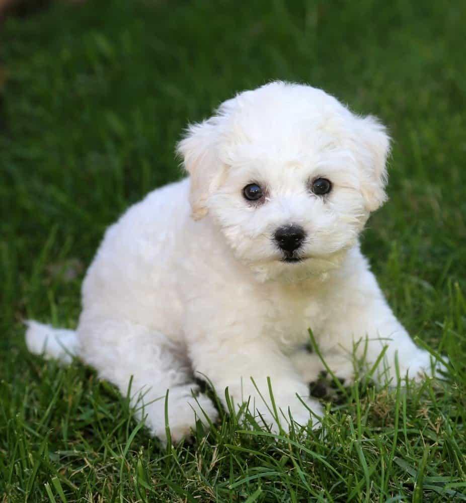 9 week old Bichon Frise puppy in grass.