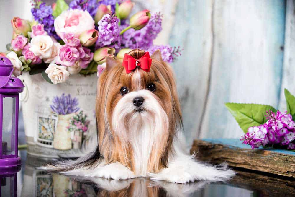 A Biewer Terrier with a red bow sitting near purple flowers.
