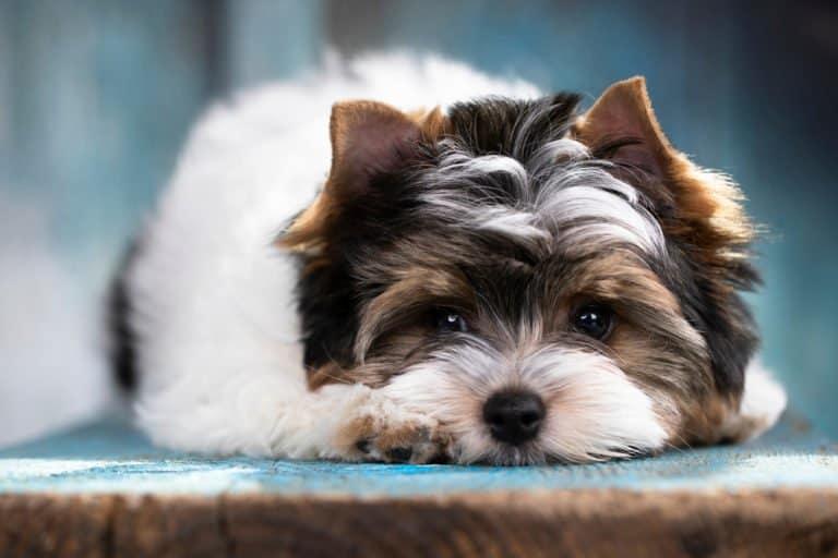 Biewer Terrier resting its head