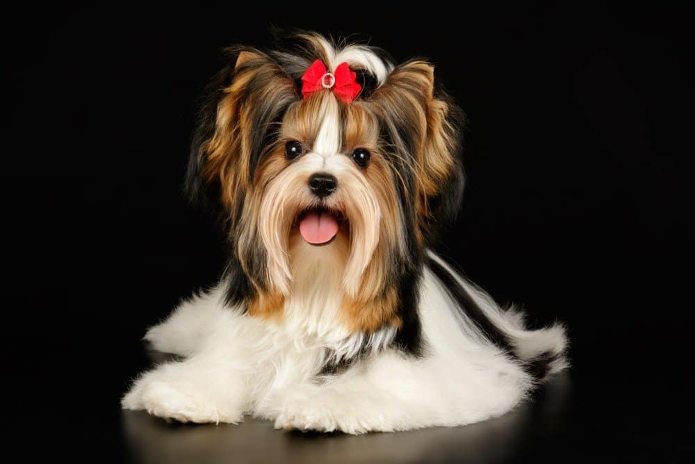 Biewer Terrier with bow in her hair