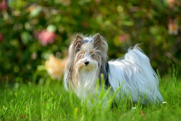 Biewer Terrier in the grass