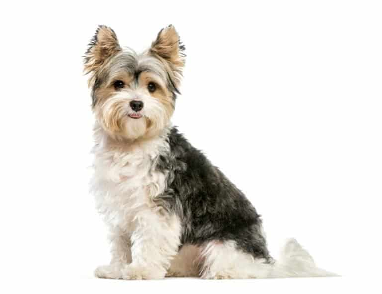Biewer Terrier isolated on white background