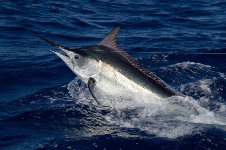 Black marlin swimming at the Great Barrier Reef