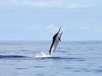 A Black Marlin