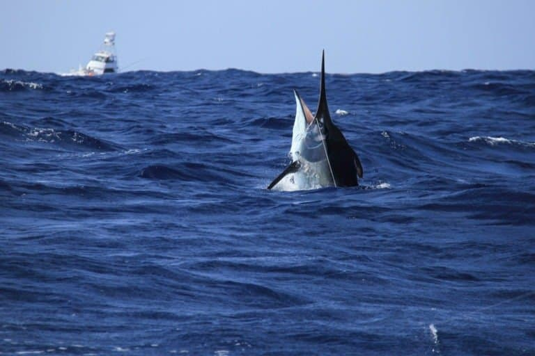 Black marlin poking out of the ocean