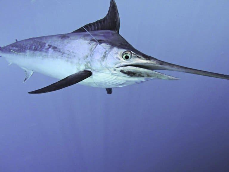 Black marlin swimming underwater