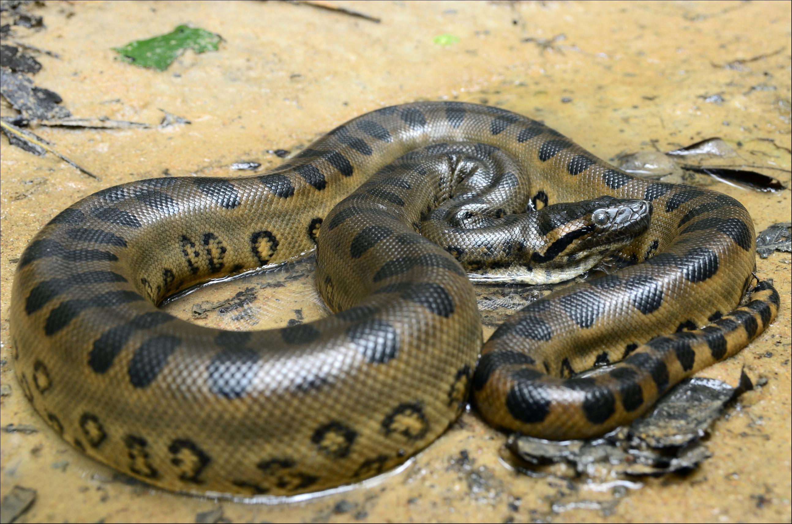Anaconda gigante (Eunectes murinus)