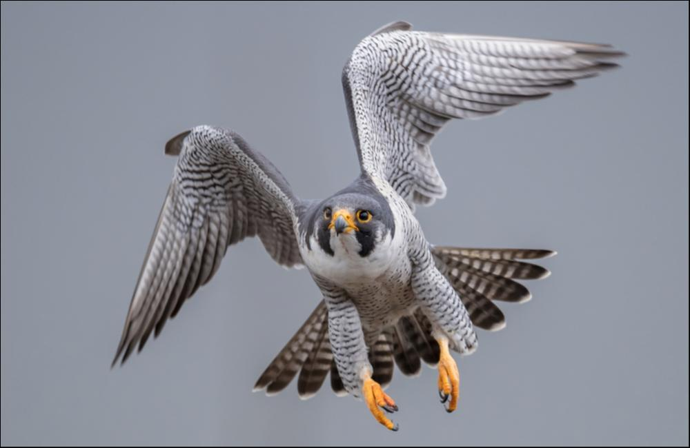 Peregrine Falcon (falconiforme) - The Fastest Animal On Earth