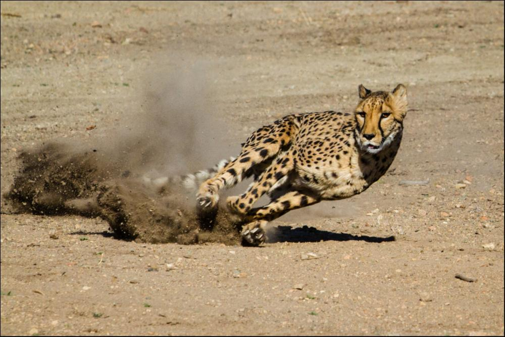 Cheetah (Acinonyx Jubatus) - Fastest Land Animal