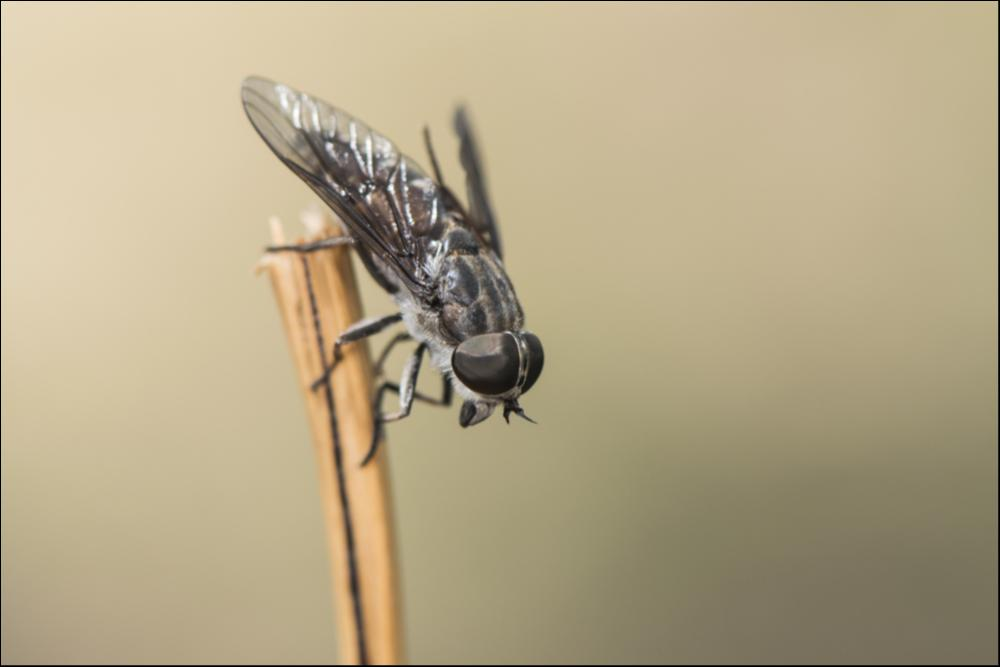 Fastest Insect - Male Horsefly