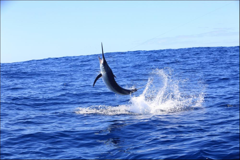 Black Marlin - Fastest Land Animal