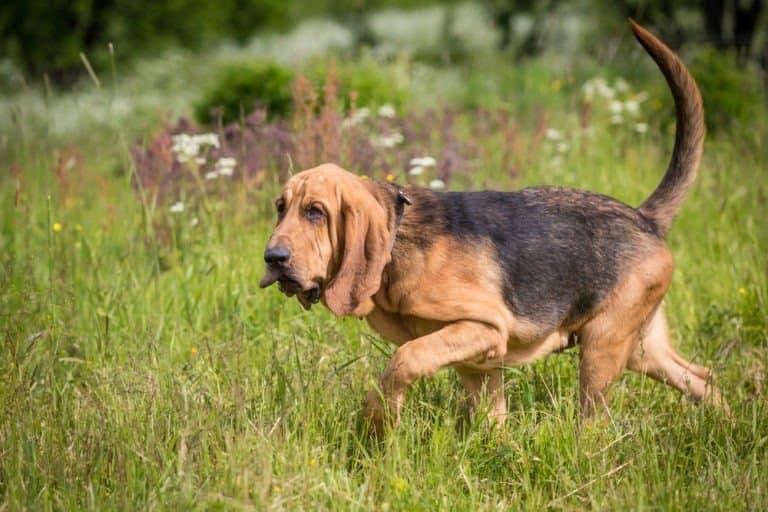 bloodhound running through the grass