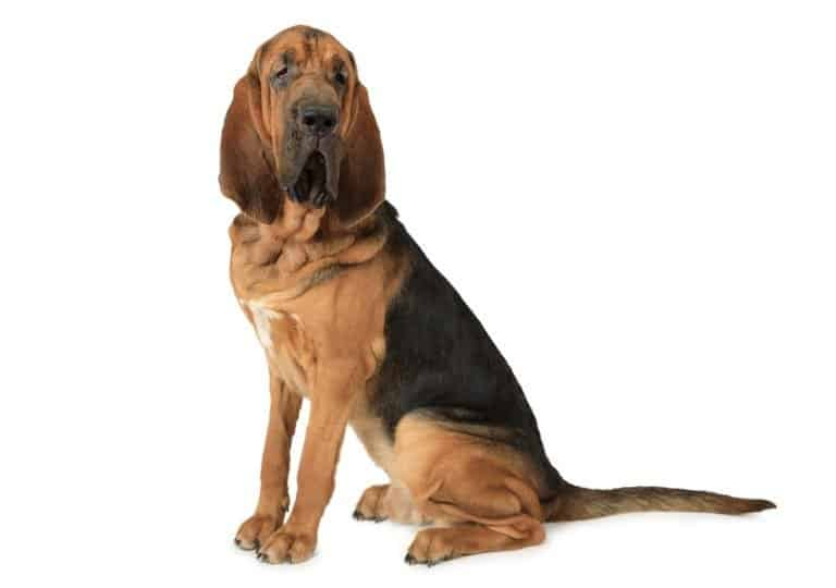 bloodhound isolated on a white background