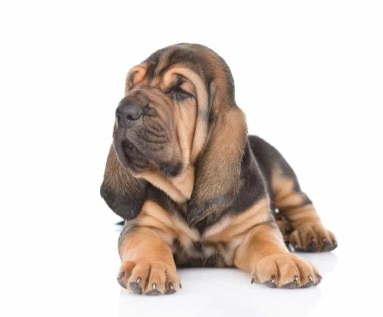 bloodhound puppy isolated on a white background