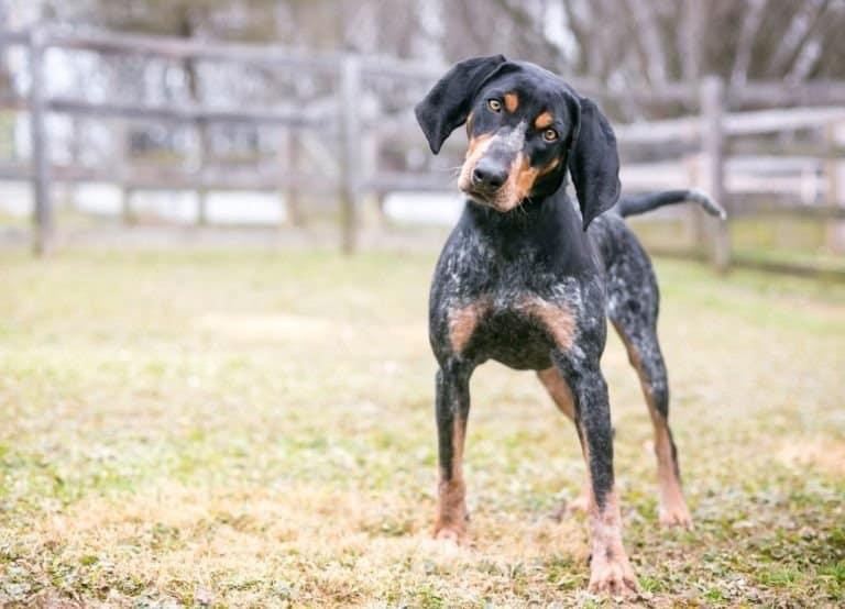 Bluetick Coonhound standing in field