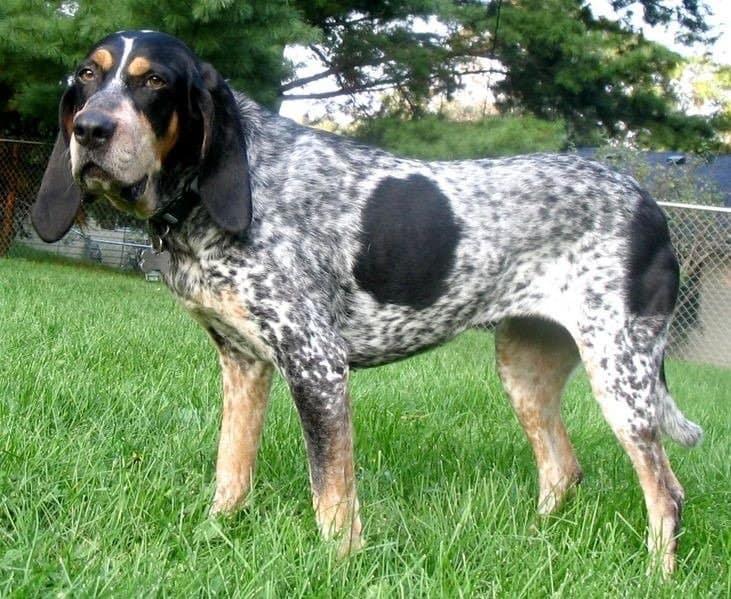Bluetick Coonhound standing on grass