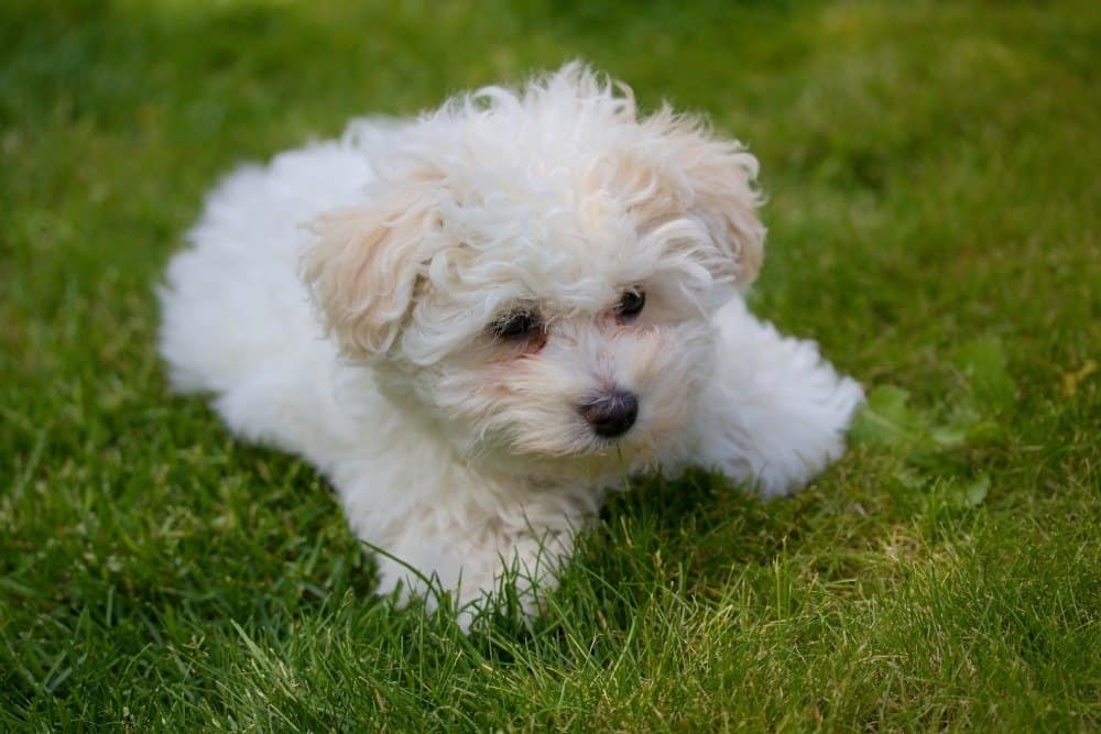 Beautiful bolognese puppy dog in the grass