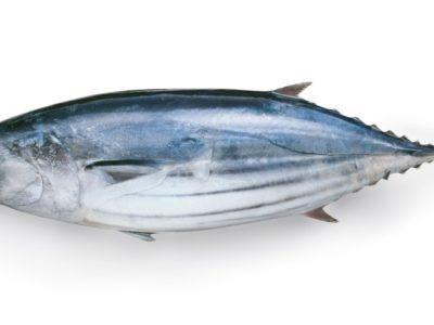 A Bonito Fish