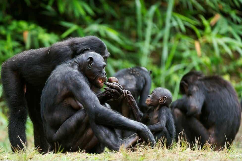 The Bonobo ( Pan paniscus) family, called the pygmy chimpanzee.