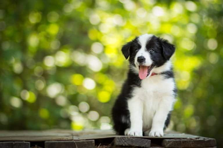 Portrait of amazing healthy and happy black and white border collie puppy