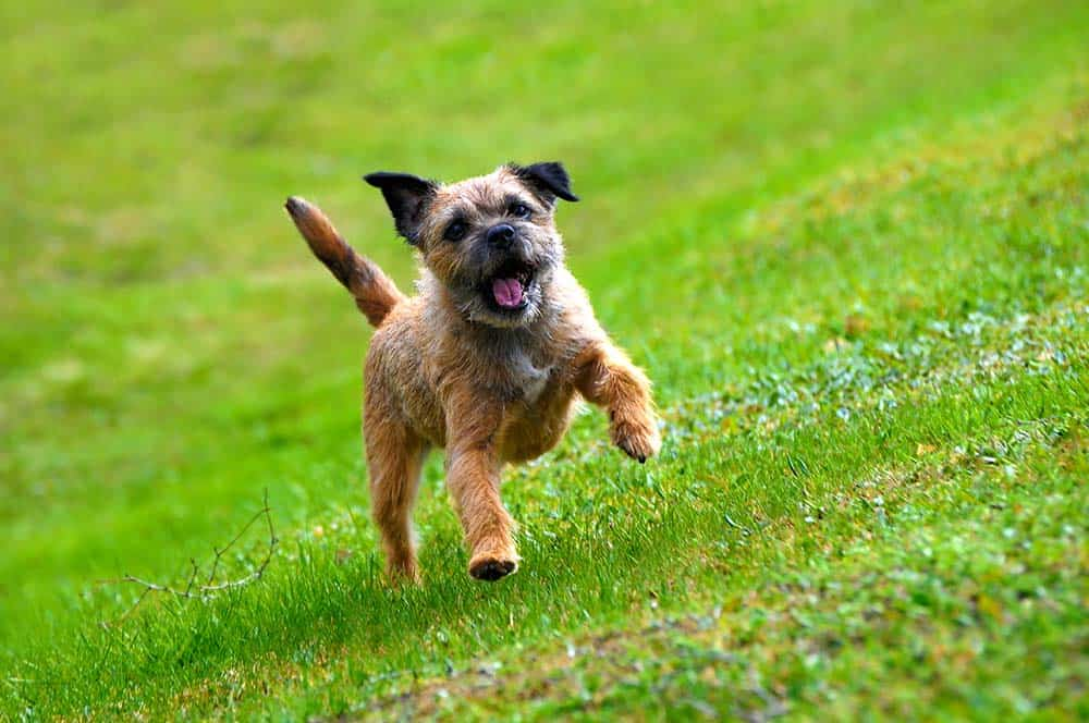 A border terrier running through the grass with its tongue out.
