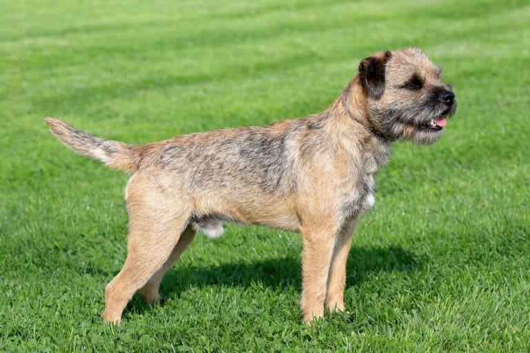 Border terrier in the grass