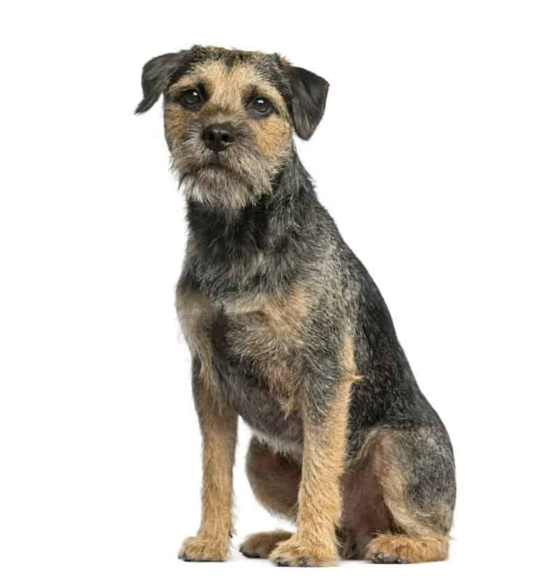 border terrier isolated on white background