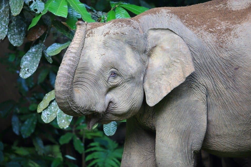 Borneo elephants, like all elephants, are exceptionally bright.