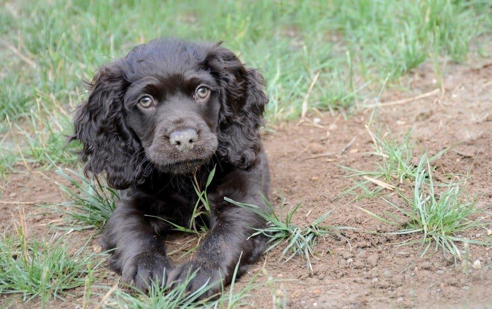 Boykin Spaniel puppy lying in grass