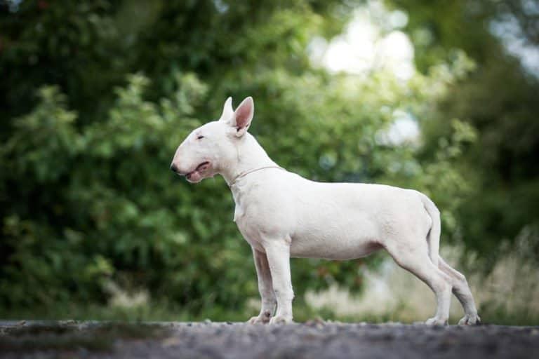 White bull terrier side shot