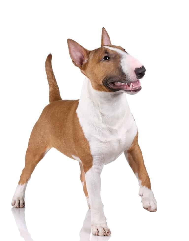 Bull terrier isolated on white background