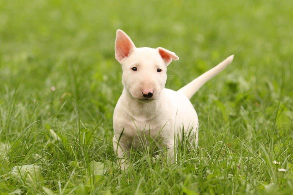 White bull terrier puppy