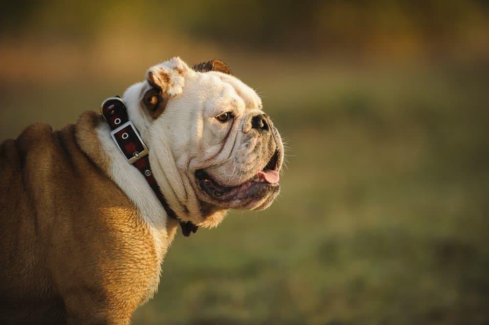 English Bulldog head shot with natural background