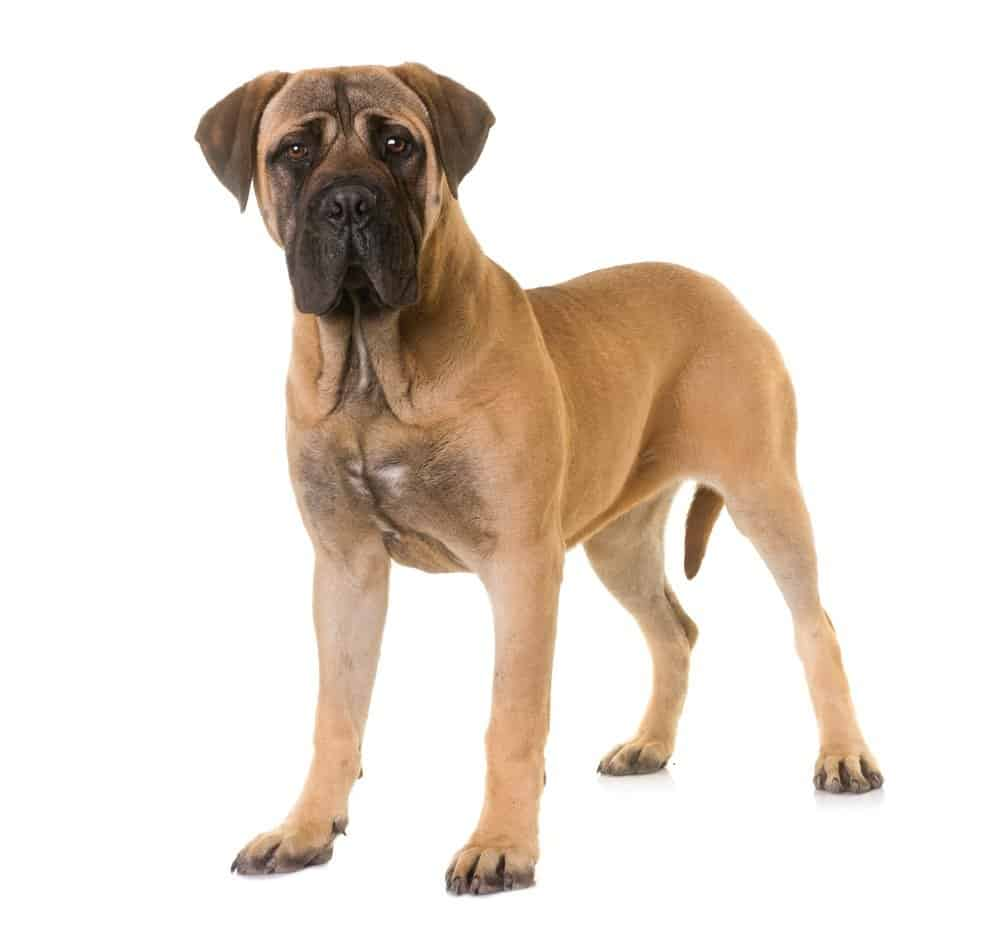 Bullmastiff isolated on a white background