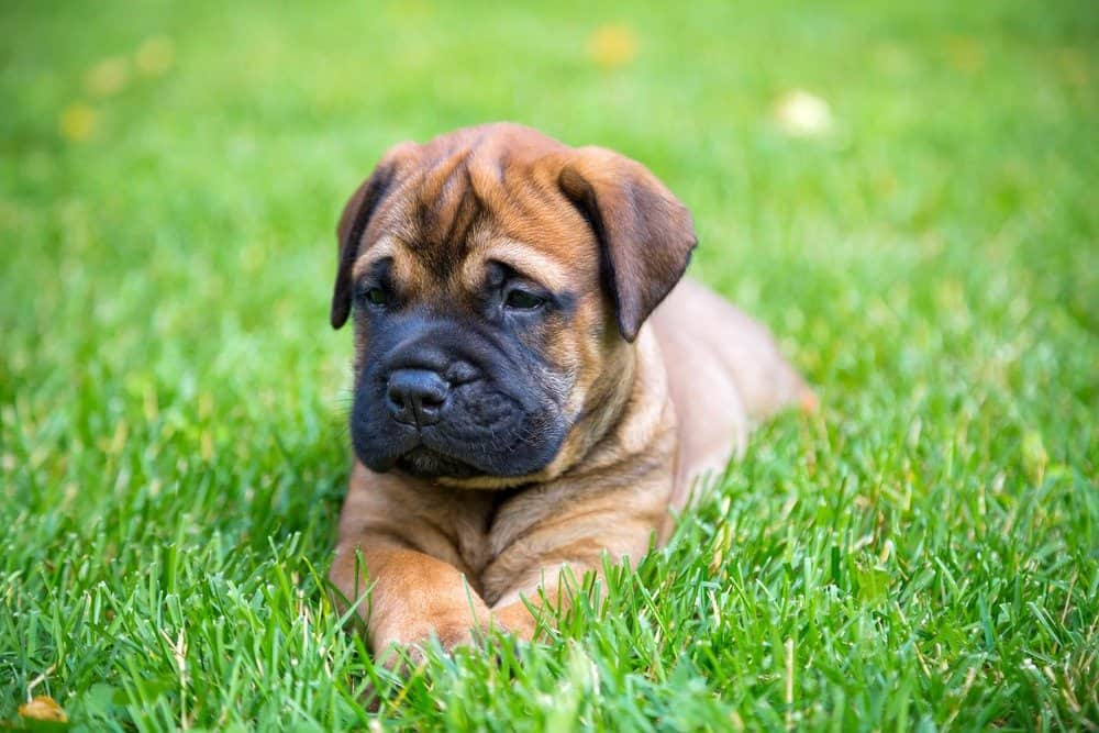 Bullmastiff puppy in the grass