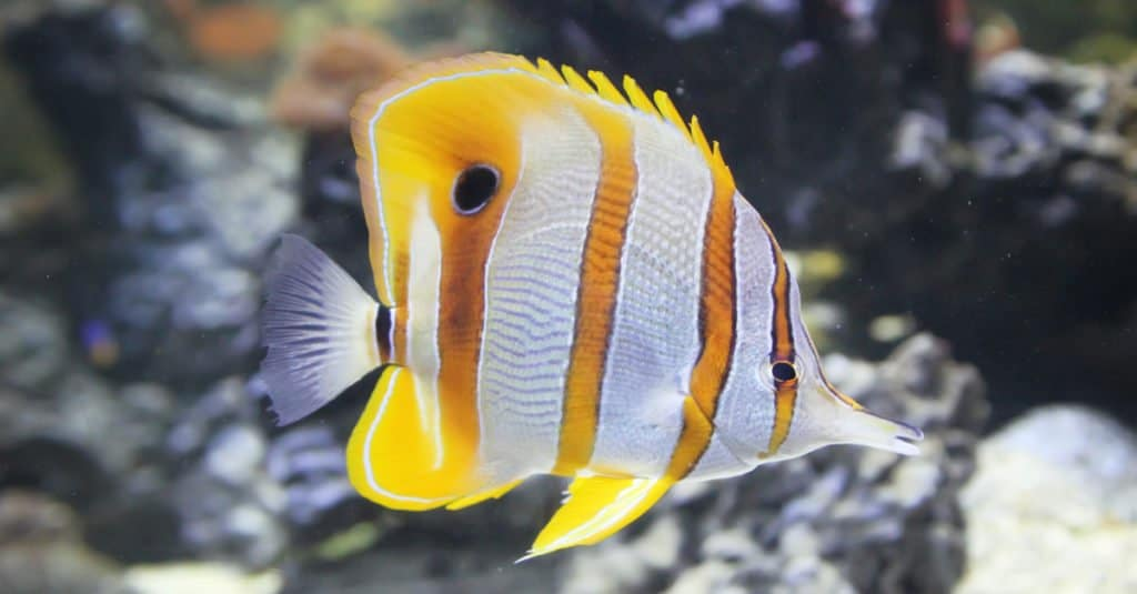 orange and white butterfly fish