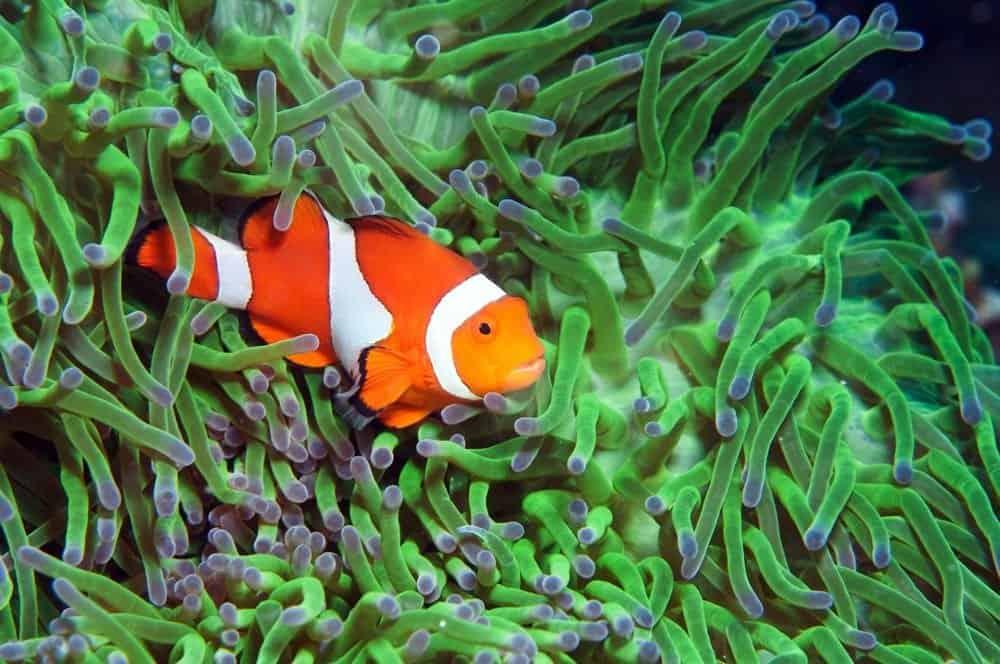 Green anemone and Clownfish fish