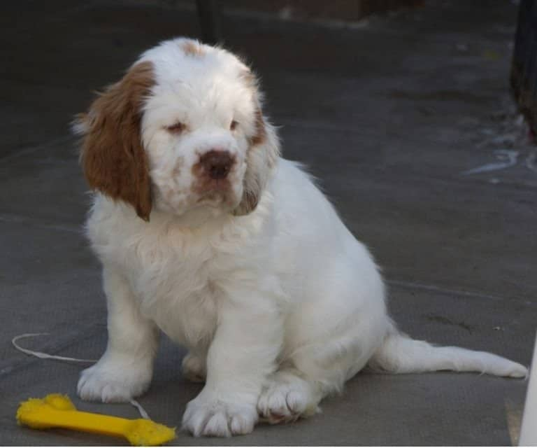 The cuteness of a Clumber Spaniel Puppy
