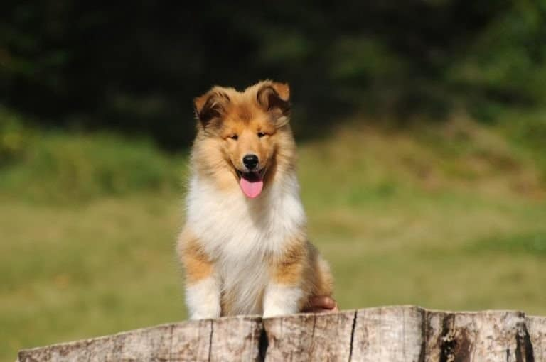 Collie puppy outside
