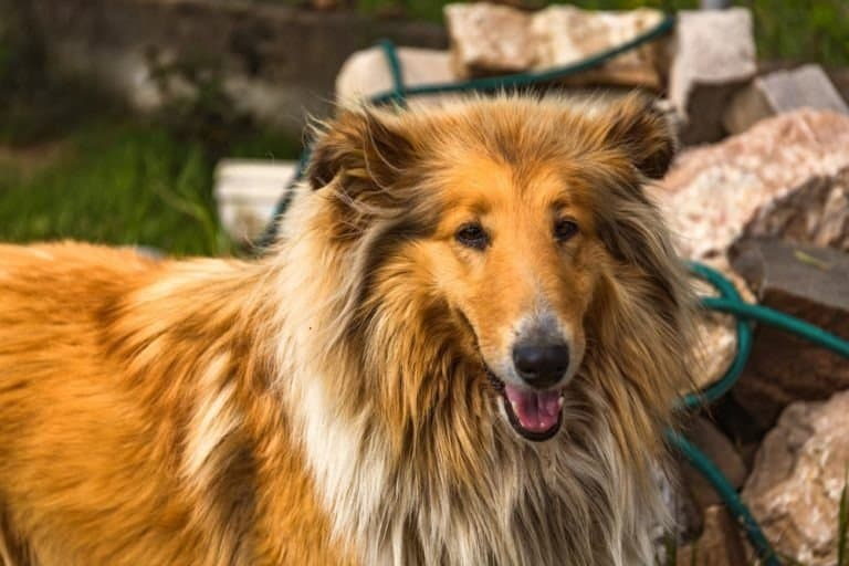 Tricolor Rough Collie, Funny Scottish Collie, Long-haired Collie, English Collie, Lassie Dog Sitting Outdoors In Autumn Day. Close Up Portrait.