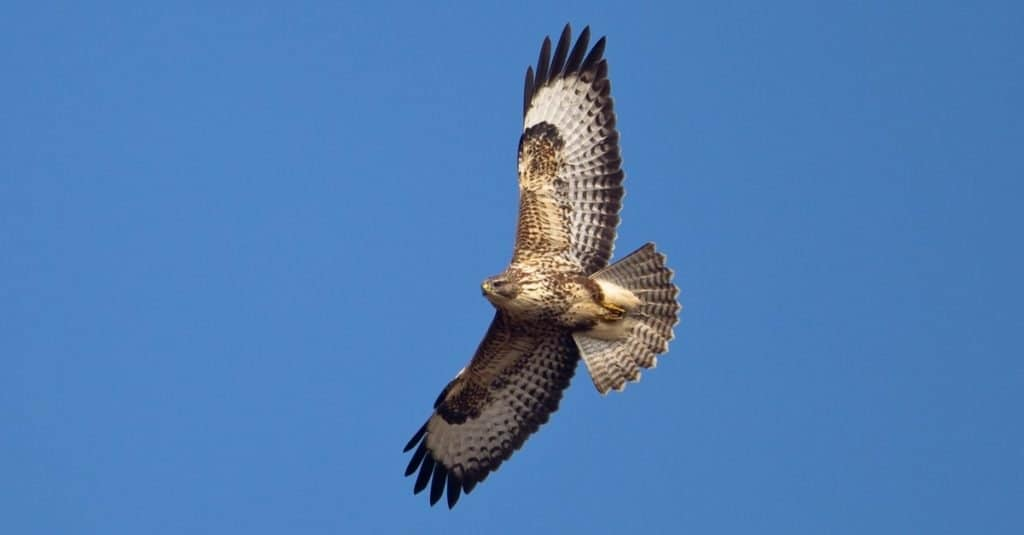 A Common Buzzard (Buteo buteo) in flight against a clear blue sky