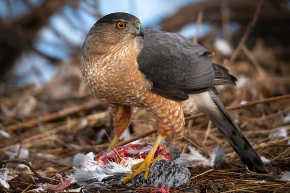 Cooper's Hawk with fresh kill