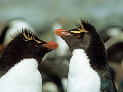 A Crested Penguin