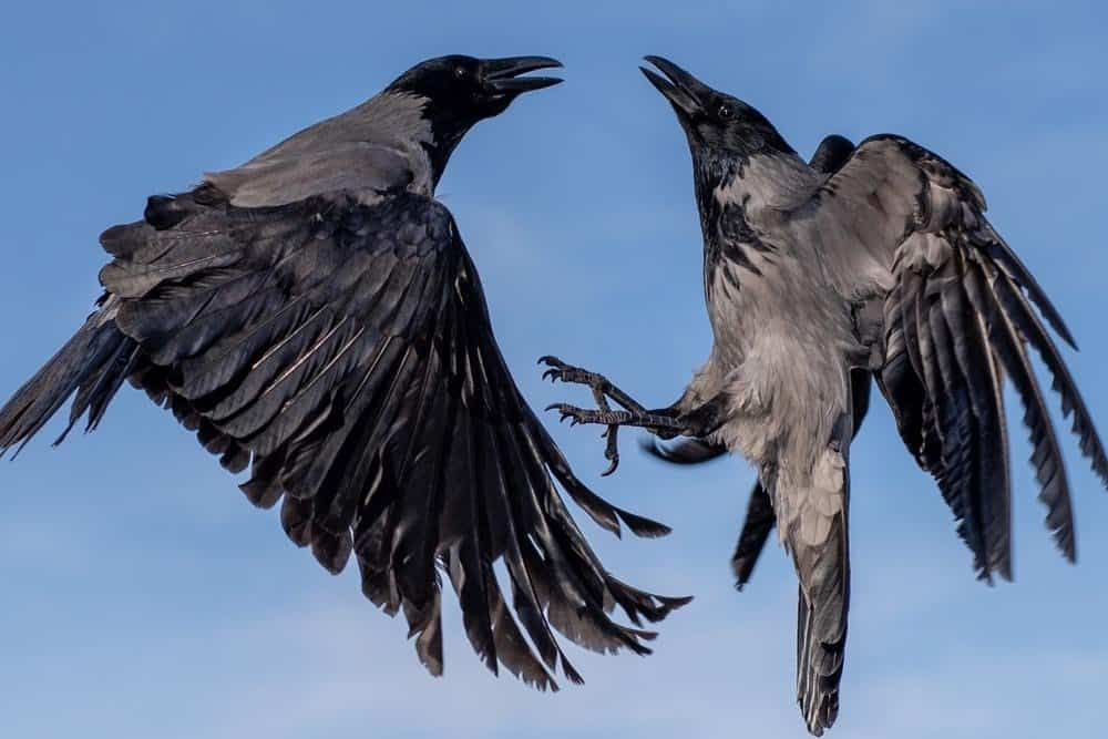 Crows, two pictured here in flight, are one of the smartest animals on Earth!