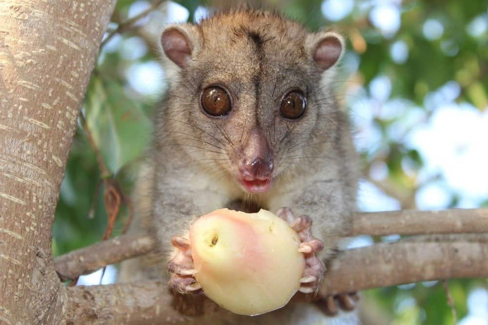 Fluffy little Cuscus eating a pear in a tree
