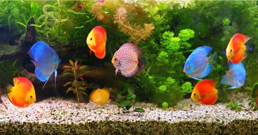 A group of discus in an aquarium