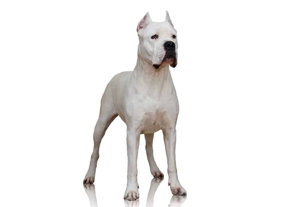 A Dogo Argentino dog isolated on a white background