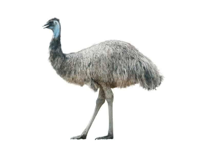 Emu isolated over a white background