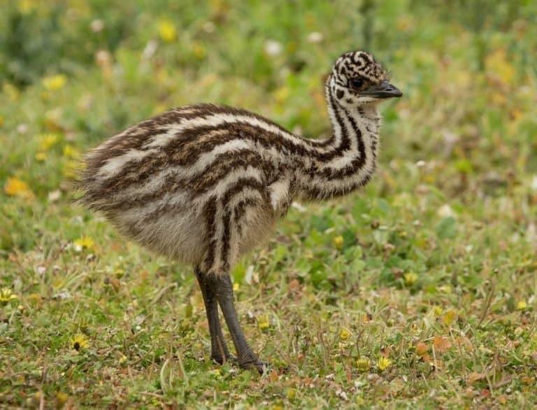 Australian emu chick (Dromaius novaehollandiae) standing on grass.